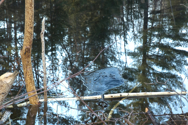 Removing trapped beaver from Conibear humane trap