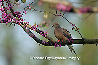 01081-01012 Mourning Dove (Zenaida macroura) in Eastern Redbud (Cercis canadensis) tree  Marion Co. IL