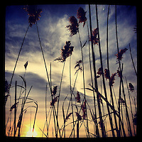 Reeds sway in the breeze and afternoon sun along 309 in Quakertown on December 15, 2012.