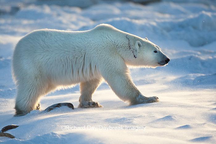 01874-11913 Polar Bear (Ursus maritimus) in snow, Churchill Wildlife Management Area, Churchill, MB Canada