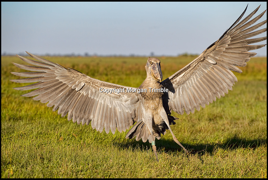 BNPS.co.uk (01202 558833).Pic: MorganTrimble/BNPS..***Please Use Full Byline***..Fly by - as the odd looking bird tries to get used to life in the wild...The comical moments a bizarre-looking shoebill bird tries to familiarise itself with its new surroundings after being released into the wild have been captured on camera...The pre-historic looking creature only lives in a handful of countries in the world and rarely interacts with humans...But this 4ft tall specimen has been hand-reared in captivity by conservationists since it was rescued from poachers as a chick...So when the one-year-old female shoebill was freed she was naturally inquisitive of anything or anyone she came across...University student Morgan Trimble photographed the bird trying to eat her metal camera tripod as well as hunting for food by emptying a fisherman's net of his catch...The shoebill also took in her new-found freedom by standing on top of a 45ft tall tree to survey the vast African swamplands around her..
