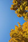 Fall tree and leaf study with sky.