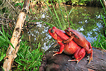 Tomato Frogs in amplexus (Dyscophus antongilii), Maroantsetra, Northeastern Madagascar