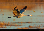 Sandhill Crane in Flight at Sunset, Bosque del Apache Wildlife Refuge, New Mexico