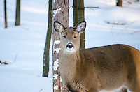 A young whitetail deer with his thick winter coat. U.P. of Michigan