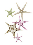 X-ray image of pointy sea stars (warm colors on white) by Jim Wehtje, specialist in x-ray art and design images.