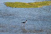 A Black-necked stilt (Himantopus mexicanus) in the Los Angeles River. Sepulveda Basin Recreation Area, Los Angeles, California, USA