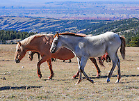 Palamino mare with red roan foal trek across the plain.