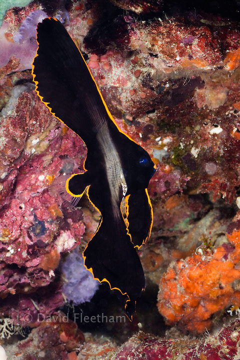 A juvenile dusky, long-finned, or pinnate batfish ( spadefish ) Platax pinnatus, Philippines.