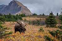 Fall Landscape of Bull  moose grazing in meadow with Chugach Mountains in background in Chugach State Park.  Anchorage, Alaska<br /> <br /> Photo by Jeff Schultz/SchultzPhoto.com  (C) 2018  ALL RIGHTS RESERVED<br /> <br /> David Young 2018 October Private Photo tour/workshop