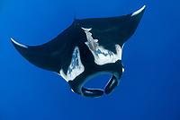 giant oceanic manta ray, Manta birostris, with remora, Echeneida sp., Socorro Island, Revillagigedo Islands, Mexico, Pacific Ocean