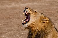 africa, Zambia, South Luangwa National Park,  roaring lion