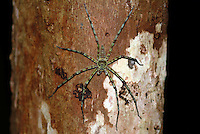 "Lichen Huntsman Spider (Heteropoda boiei) As adults, huntsman spiders do not build webs, but hunt and forage for food: their diet consists primarily of insects and other invertebrates, and occasionally small skinks and geckos. They live in the crevices of tree bark, but will frequently wander into homes and vehicles. They are able to travel extremely fast, often using a springing jump while running, and walk on walls and even on ceilings. They also tend to exhibit a ""cling"" reflex if picked up, making them difficult to shake off and much more likely to bite. The females are fierce defenders of their egg sacs and young. They will generally make a threat display if provoked, but if the warning is ignored they may attack and bite."