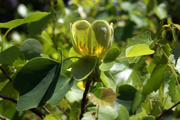 The tuliptree has greenish yellow tulip shaped flowers that are usually found at the top of the tall tree.