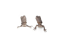 Pair of Frilled-neck Dragon, isolated on white background