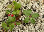 Wintergreen and Lichen