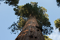 The Stagg Tree in the Alder Grove of giant sequoias is the largest-circumference giant sequoia (Sequoiadendron giganteum) in the world and the fifth most voluminous.