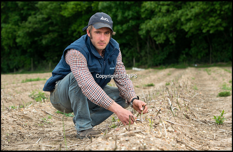 BNPS.co.uk (01202 558833)<br /> Pic: TomWren/BNPS<br /> <br /> Rob Cox from Sopley Farm.<br /> <br /> British asparagus growers are about to be speared by a double whammy of bad fortune brought on by the country's up and down weather.<br /> <br /> The short eight-week season for picking the delicacies should have begun in the last week of April but farmers were forced to shelve their harvest for two weeks because of the chilly start to spring.<br /> <br /> Because the asparagus season comes to a strict end on June 21, the delay means overall yield will be lower this season hitting growers in the pocket.<br /> <br /> But in a second set-back they are now forecasting plummeting prices due to a sudden glut of asparagus caused by warmer weather over the last fortnight flooding the market.