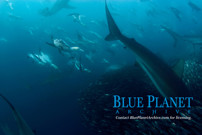 bronze whalers, or copper sharks, Carcharhinus brachyurus, and Cape gannets, Sula capensis, feeding in baitball of sardines, Sardinops sagax, Transkei, South Africa, (Indian Ocean) (do)