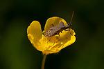 Brown Shield Bug, Coreus marginatus on Meadow Buttercup, Ranunculus acris, Elmley Marshes, Kent UK, Elmley Nature Reserve