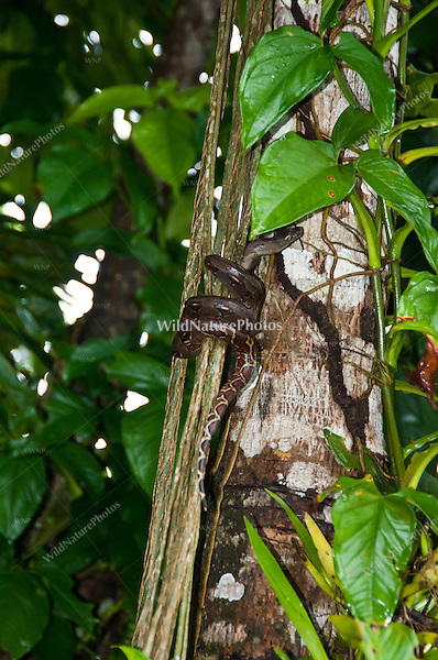 A Boa Constrictor (Boa constrictor) climbing the vines in the jungle to reach the canopy, Bocas del Toro, Colon Island, Panama