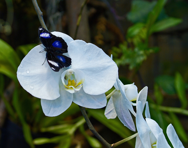 A blue, black and whte Common Eggfly sits on the edge of a white Phalaenopsis orchid  delicatlely decorated with water droplets.