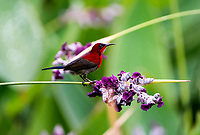Crimson sunbird (Aethopyga siparaja) is a species of bird in the sunbird family which feed largely on nectar, although they will also take insects, especially when feeding the young. Flight is fast and direct on their short wings. Most species can take nectar by hovering like a hummingbird, but usually perch to feed most of the time.