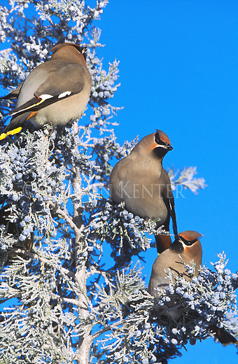 Bohemian Waxwings feeding on frosty juniper berries on a frigid winter morning in Montana