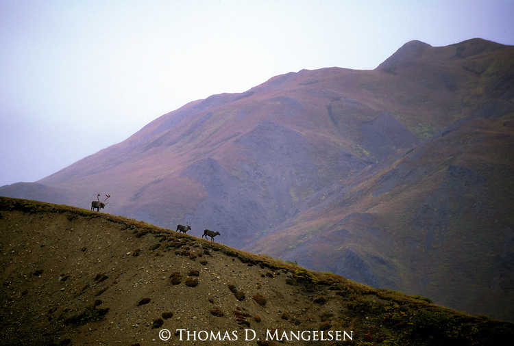 Three caribou walks along a ridge in Denali National Park, Alaska.