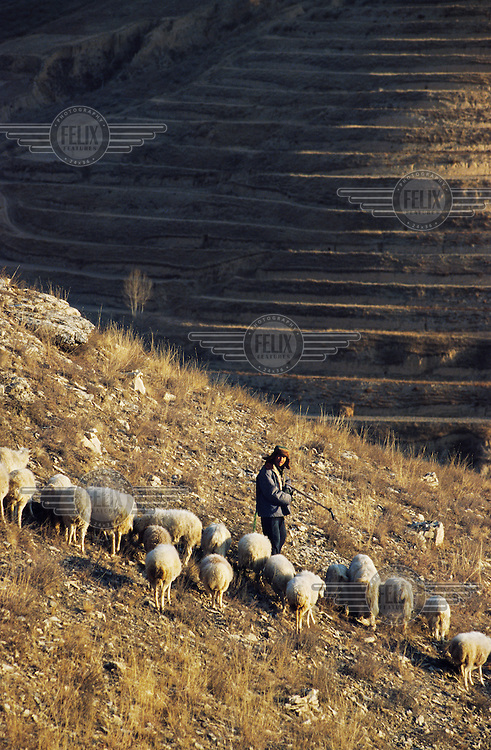 A shepherd herds a flock of sheep on a terrace on the Loess Plateau.  The plateau, which is in one of China's driest regions, experiences extensive soil erosion.