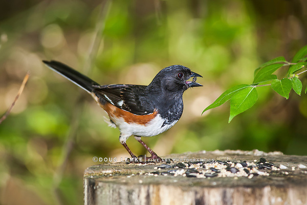 A Bird, The Eastern Towhee Striking A Curious Pose While Holding A Seed In It's Beak, Pipilo erythrophthalmus