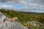 Viviparous Lizard (Zootoca vivipara), Dovrefjell National Park, Norway