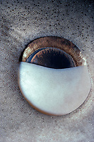 Eye of Tiger Shark (Galeocerdo cuvier) - nictating membrane closing to protect eye, Australia - Great Barrier Reef.