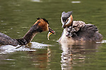 """Pictured: Three hungry grebe chicks are fed a huge fish as they perch on their parent's back.   The black and white birds reached out eagerly to grab hold of the food, tipping their heads back to swallow the 'improbably' large fish.<br /> <br /> The images were captured in Brymbo near Wrexham in North Wales by amateur photographer Simon Roberts who spent a month waiting for the chicks to hatch.   The 58-year-old surgeon, who lives near Wrexham said: """"The chicks tipped their heads back and swallowed the improbably large fish in one go.   SEE OUR COPY FOR DETAILS<br /> <br /> Please byline: Simon Roberts/Solent News<br /> <br /> © Simon Roberts/Solent News & Photo Agency<br /> UK +44 (0) 2380 458800"""