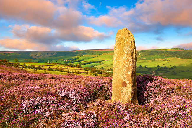 Road marker and heather blooming on the Fryup Dale moor. North Yorks National Park, North Yorkshire, England