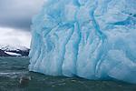 Northern Fulmar float near an icebergs edge, Svalbard, Norway