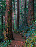 Olympic National Forest, WA<br /> Lena Lake trail winds thru old growth forest of hemlock/fir