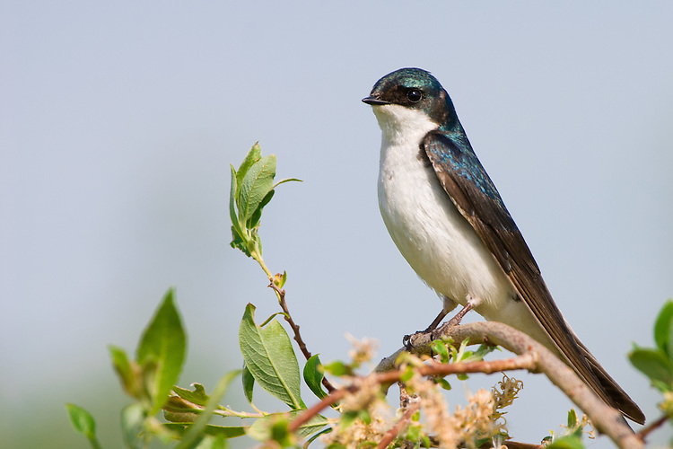 Tree swallow on willow tree