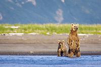 Paula and her cub, Racer, at Hallo Bay. Paul stands up often. Kodiak grizzly bears (Ursus arctos middendorffi)