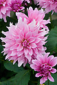 Dahlia 'Mayan Pearl', early September.