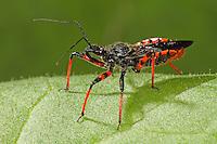 Geringelte Mordwanze, Geringelte Raubwanze, Rhynocoris annulatus, Rhinocoris annulatus, assassin bug, Reduviidae, Raubwanzen, assassin bugs, conenose bugs