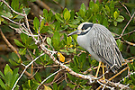 Ding Darling National Wildlife Refuge, Sanibel Island, Florida; a Yellow-crowned night-heron (Nyctanassa violacea) bird stands on a tree branch, resting during daylight hours as they are nocturnal creatures © Matthew Meier Photography, matthewmeierphoto.com All Rights Reserved