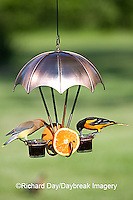 00585-034.09 Baltimore Oriole (Icterus galbula) & Cedar Waxwing (Bombycilla cedrorum) at jelly feeder Marion Co. I