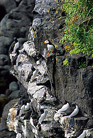 Common murre colony and Horned Puffin, St. Paul Island, Pribilof Islands, Alaska.
