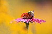 Bumble Bee (Bombus hortorum) on Coneflower (Echinacea purpurea) Louisville
