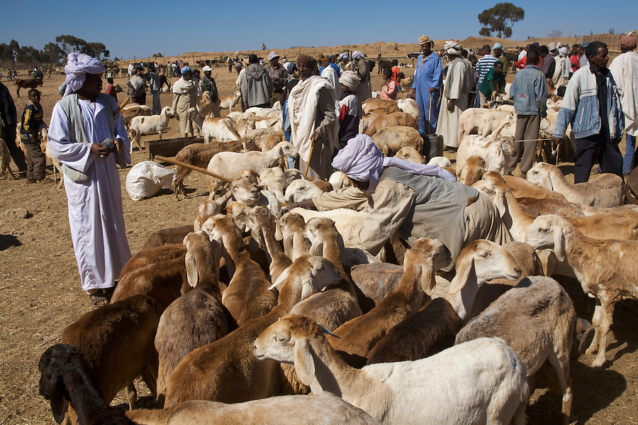marche aux animaux d asmara..cattle market of Asmara