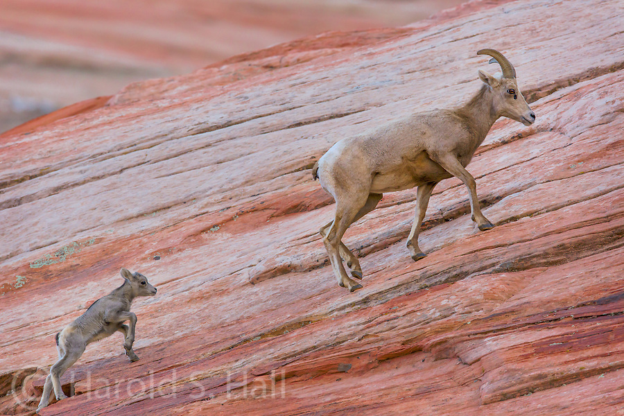 A baby desert bighorn sheep struggles to keep up with the mother in Zion National Park Utah.