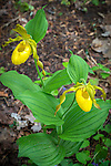 Great Smoky Mountains National Park, Tennessee:<br /> Pink lady slippers (Cypripedium calceolus) blossoms