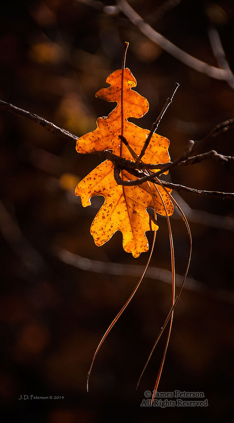 Oak Leaf, West Fork of Oak Creek, Arizona