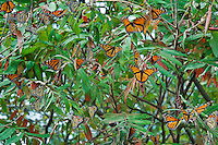 Monarch butterflies (Danaus plexippus) in Ontario, Canada wait in sumac tree for favorable winds to cross Lake Erie on annual Sept. migration south to Mexico.